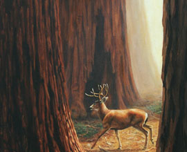 blacktail buck and sequoia trees