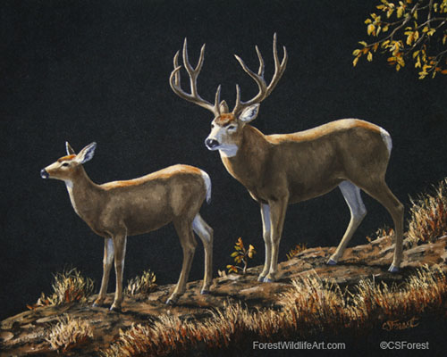 mule deer buck & doe